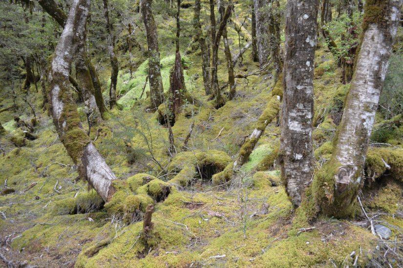Belajar itu di sini, mblasuk ke hutan, saya cinta hutan! (ke Haast Pass Lookout)