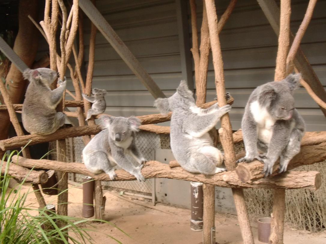 Keluarga koala